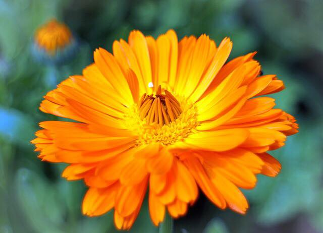 Benefits of Calendula