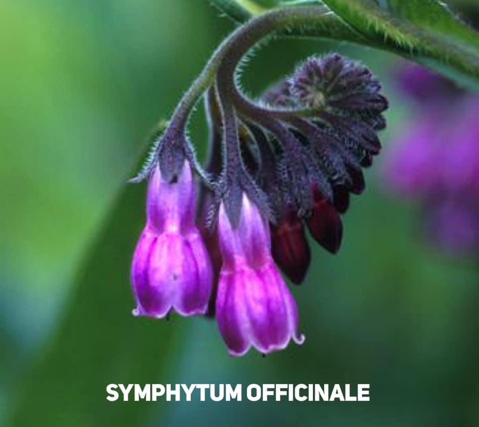 Symphytum Officinale