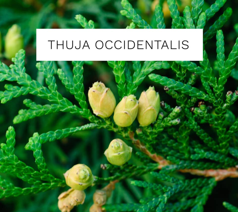 Thuja Occidentalis - Remedy Spotlight