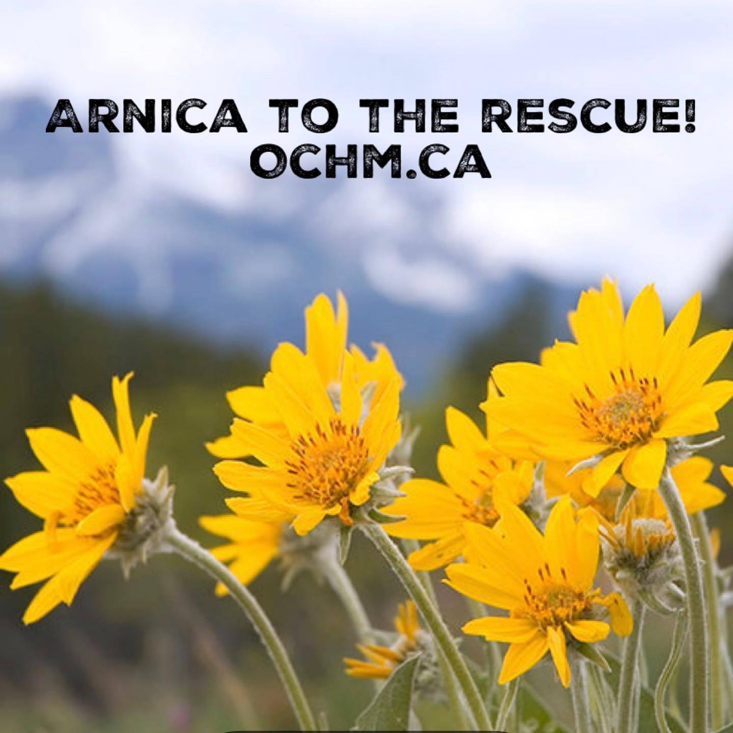 Arnica - The Most Popular Homeopathic Remedy